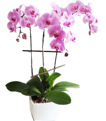 Glamourous Orchid